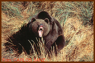 sanz bear threatened