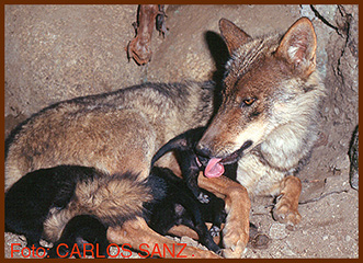sanz wolf and cubs