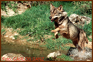 sanz wolf crossing river