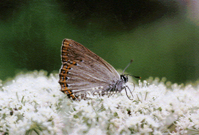spanish purple hairstreak